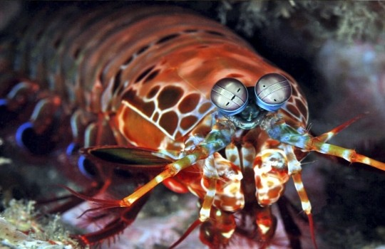 mantis_shrimp_karidesi_lisste-1552985745