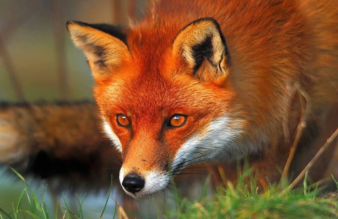 red-fox-lisste-1553068749.jpg