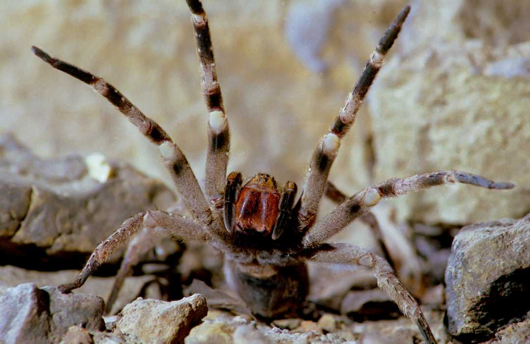 breziya-örümceği-1552383442.jpg
