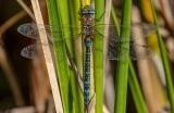 Meganeuropsis_lisste-1553175537.jpg