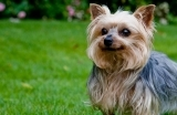 yorkshireterrier-1555319280.jpg