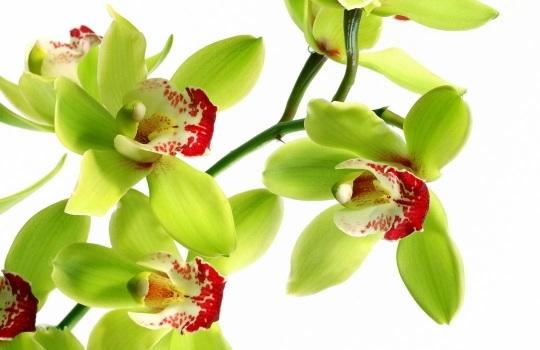 SHENZHEN-nONGKE-orkidesi-1551682663.jpg