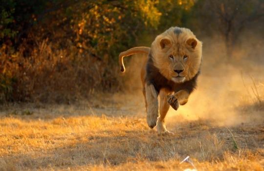 lion-running-lisste-1553064458.jpg