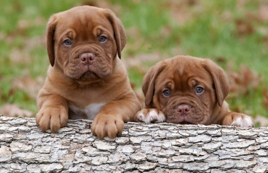mastiffdog-1555319247.jpg