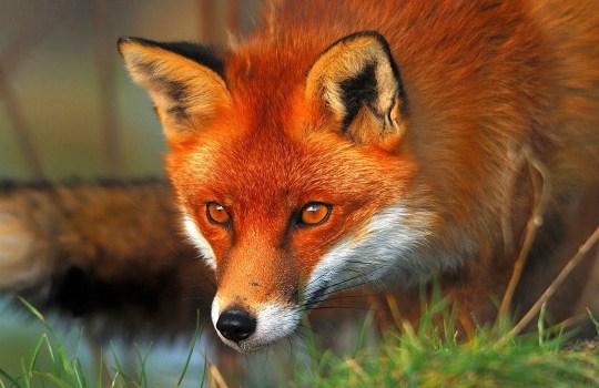 red-fox-lisste-1553067343.jpg